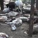 Post Thumbnail of Granjero dice que criatura alada atacó y mató a 35 ovejas