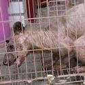 Post thumbnail of Descubren un extraño animal desconocido, el «yeti oriental»