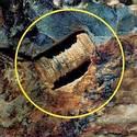 Post Thumbnail of ¿Es esto un tornillo fosilizado de 300 millones de años de antigüedad o una simple criatura marina?
