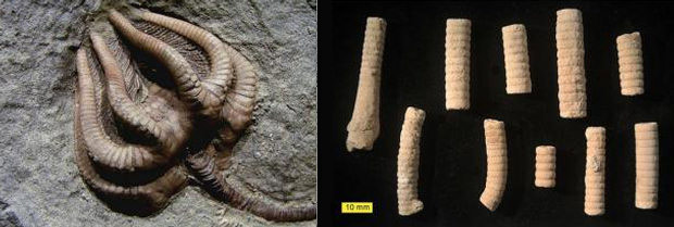 Izquierda: Restos completos de una crinoidea. Derecha: Tallos de crinoideo del Período Jurásico.