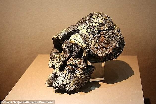 Cráneo de Kenyanthropus platytops.
