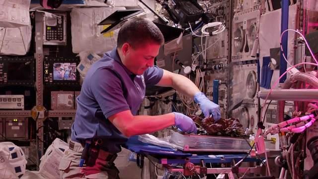 El astronauta de la vida real, Kjell Lindgren, cosecha lechuga en el experimento 'Veggie' de la Estación Espacial Internacional.