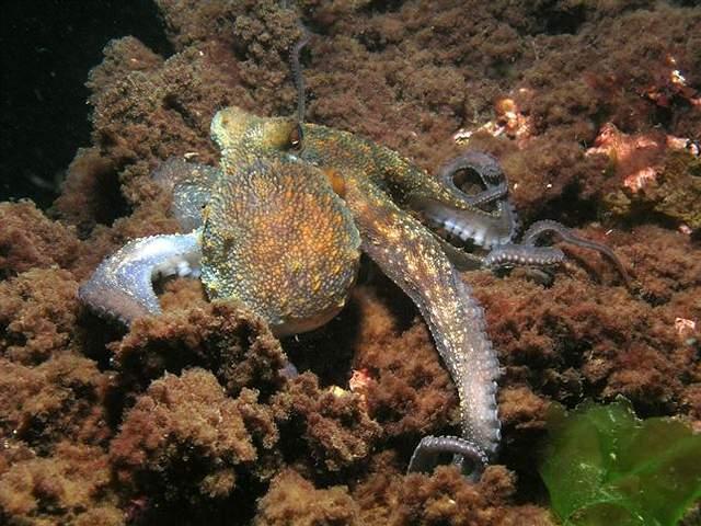 LOS PRIMEROS SERES INTELIGENTES DEL PLANETA -- Los cefalópodos, que incluyen no sólo el pulpo sino también calamares, sepias y nautilus, surgieron como depredadores en los antiguos océanos hace más de 400 millones de años.