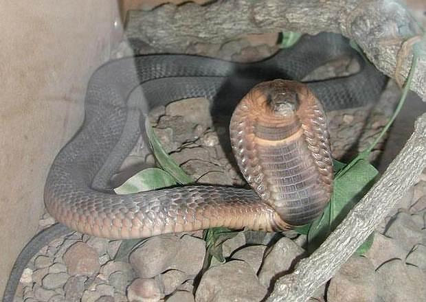 Cobra egipcia.