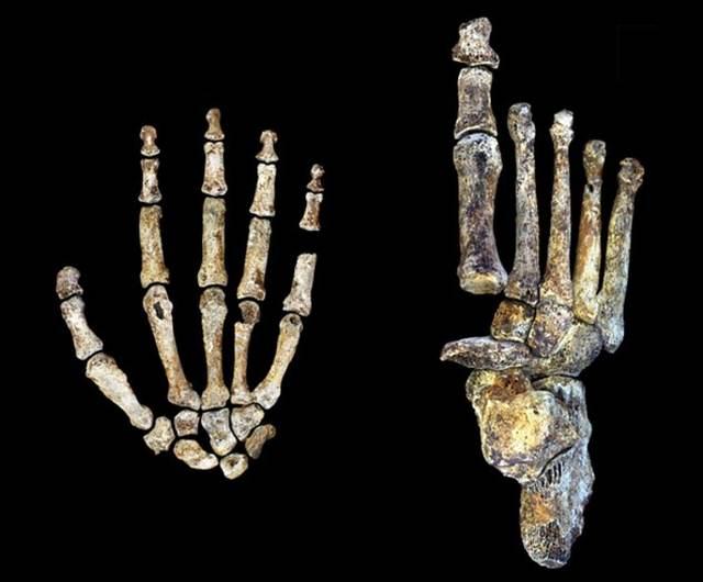 Una misma criatura aunó rasgos primitivos, de australopitecos, con rasgos más humanos.