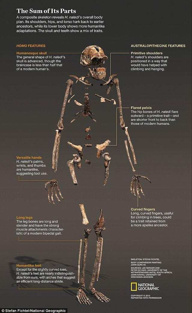 El esqueleto de un Homo naledi.