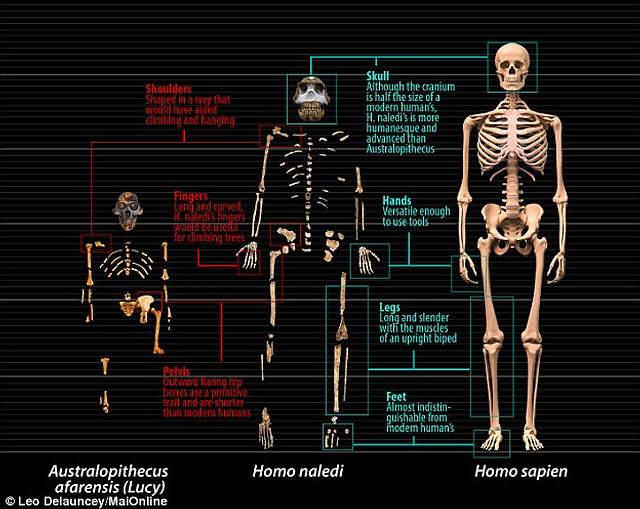 Comparación entre el Australopithecus afarensis (Lucy), el Homo naledi y el Homo sapiens.
