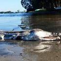 Post thumbnail of El extraño «monstruo marino» que ha aparecido en Australia