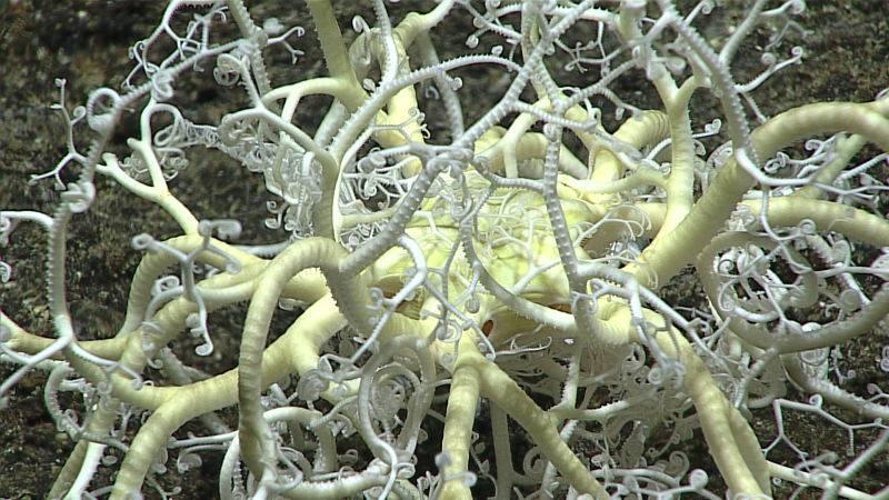 Las Gorgonocephalidae son una familia de estrellas cesta. Tienen unos característicos brazos muy ramificados.