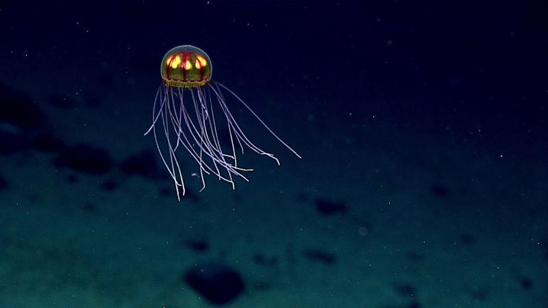 La medusa multicolor fue vista durante la exploración hecha el pasado 24 de abril mientras se recorría la zona conocida vulgarmente como «La enigmática montaña marina», a 3.700 metros de profundidad.