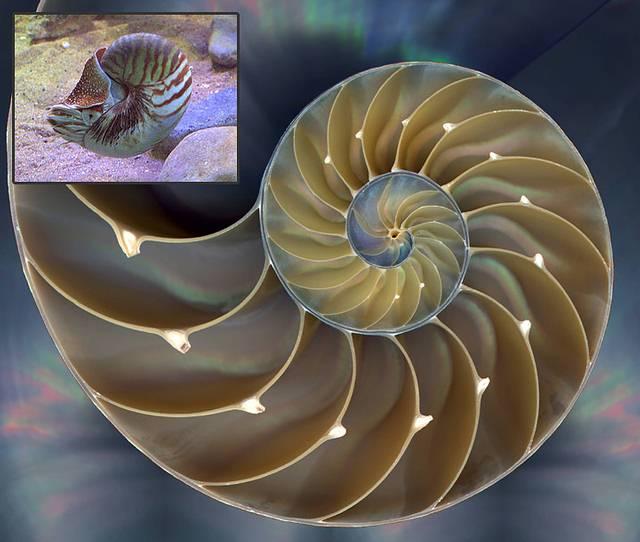 La concha del nautilus, un género de moluscos cefalópodos, presenta uno de los patrones espirales más sorprendentes de la naturaleza.