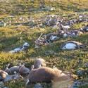 Post thumbnail of Un rayo mata a 323 renos al mismo tiempo en Noruega