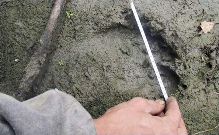 Goloburdo y Sychyov, también cazadores experimentados, han descartado que se traten de las huellas de un oso.