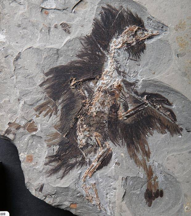 ave-fosil
