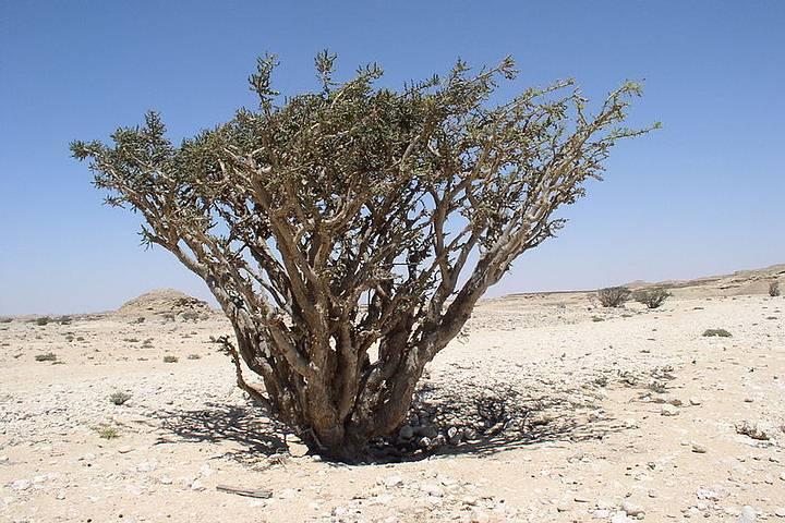 El incienso es una gomorresina aromática producida por árboles de la familia de las 'burseráceas'. El árbol del incienso da, por exudación, este valioso producto. FOTO: 'Boswellia sacra'.
