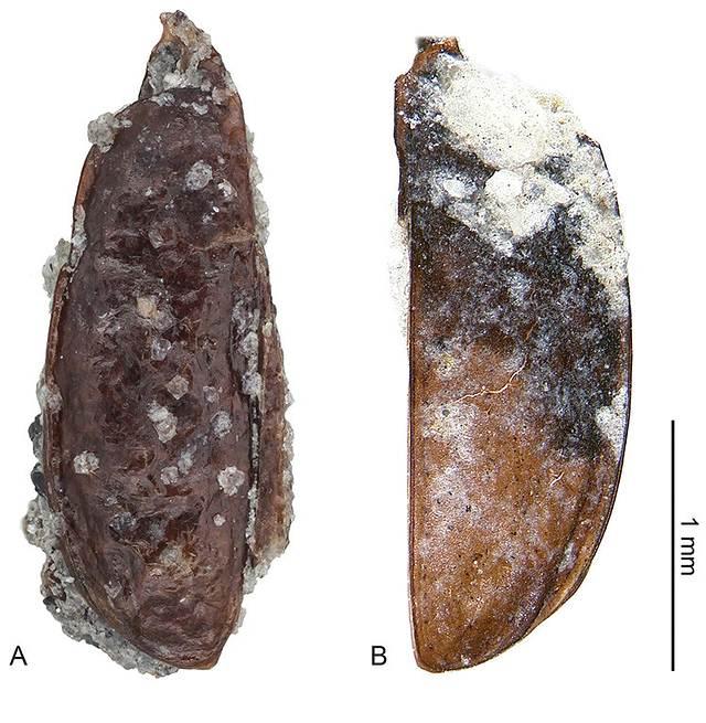 Alas del escarabajo fosilizado encontrado en la Antártida.