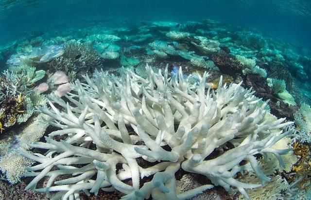 corales-blanqueo