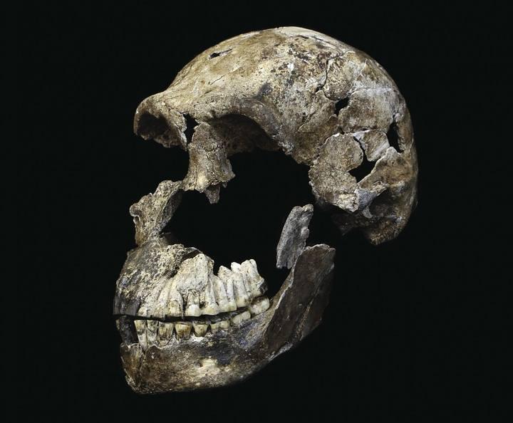 El cráneo de «Neo», un fósil muy completo que contribuye a dibujar el rostro de la nueva especie.