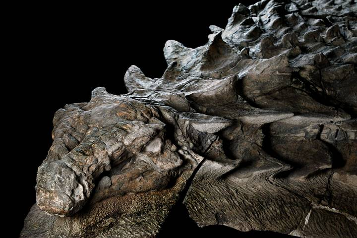 nodosaur-fossil-canadian-mine-face.