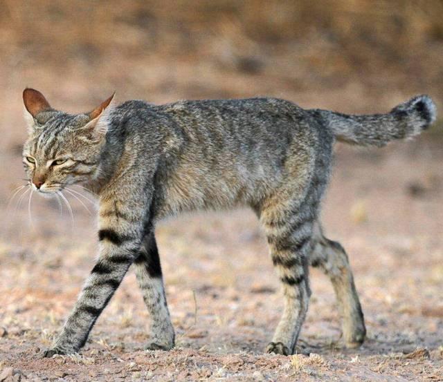 'Felis silvestris lybica'.