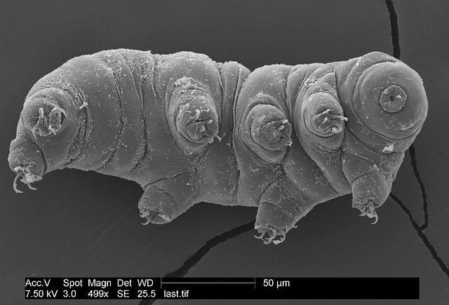 Se trata de un ser muy pequeño, más precisamente, de entre 0,01 a 1,2 mm y sólo es visible al microscopio.