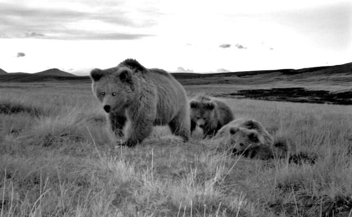 Los osos pardos del Himalaya pertenecen a un linaje evolutivo distinto que divergió desde el principio de todos los demás osos pardos.