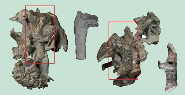 Parte del esqueleto del pingüino. Los rectángulos señalan el húmero y el hueso del hombro (coracoide).