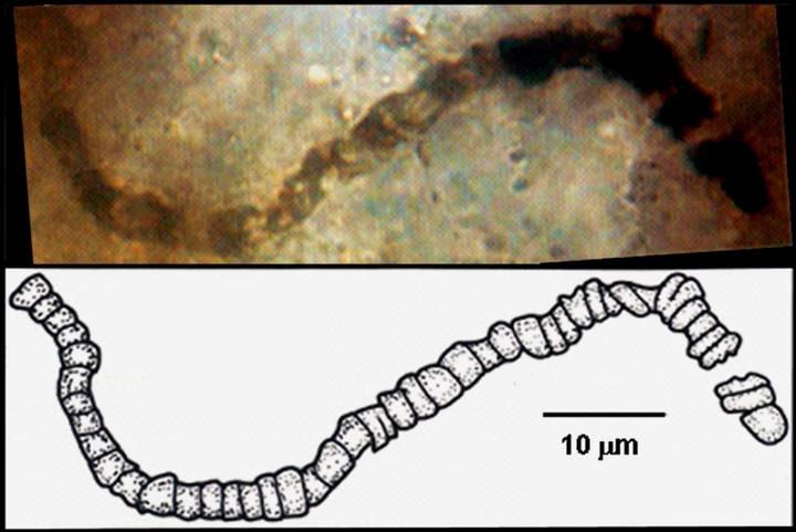 Uno de los microfósiles descubierto en una muestra de roca recuperada de Apex Chert.