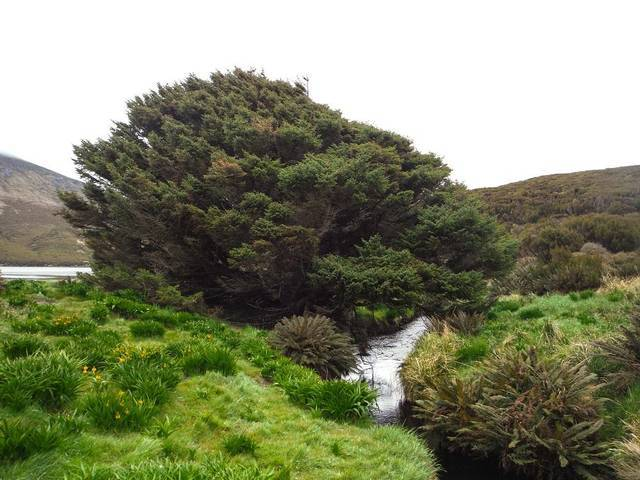 El abeto de Sitka de Isla Campbell, el árbol más solitario del mundo.