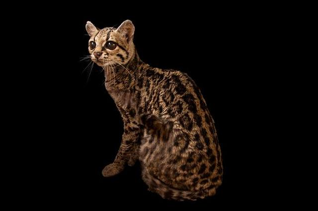 Investigadores analizaron los resyos de 46 animales de Ceiba, incluyendo perros, venados y gatos tigre (margay, imagen).