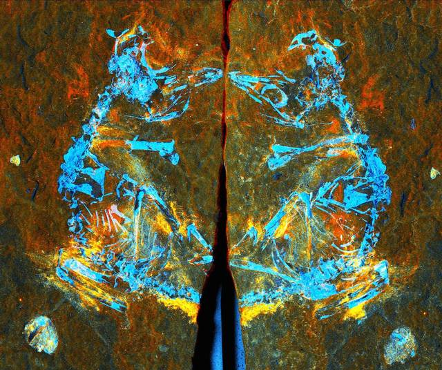 Esta imagen compuesta en falso color muestra cuáles elementos están presentes en el fósil, tal como reveló la radiación sincrotrón. Las áreas en rojo son hierro, las áreas en verde son silicio, y las azules son fósforo. Crédito: Fabien Knoll.