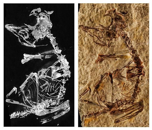 Imagen del fósil.