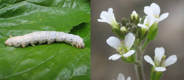 Izq; Gusano de seda. Der: Arabidopsis.