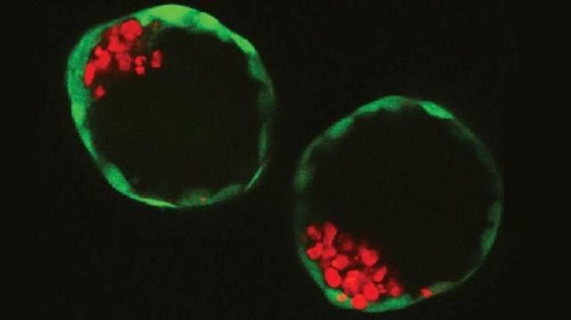 Embriones artificiales cultivados en laboratorio.