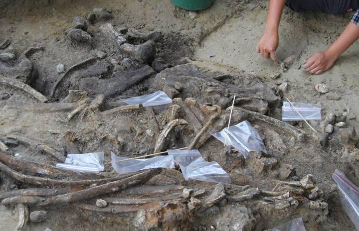 Para evitar dañar los huesos, el equipo los desenterró utilizando palos de bambú. Foto: Thomas Ingicco.