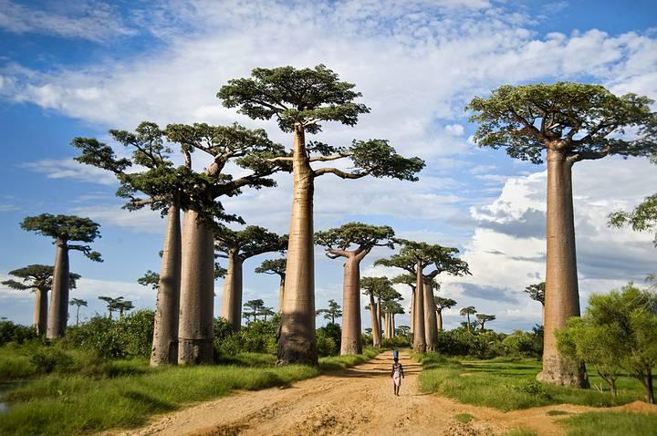 Camino de tierra llamado Avenida de los Baobabs en Morondava, Madagascar.