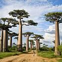 Post thumbnail of Muerte de árboles milenarios en África genera alarma