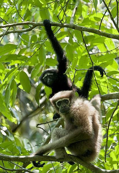Los gibones son los simios más pequeños y se caracterizan por su distintiva canción y sus largos brazos, que utilizan para moverse a través del dosel del bosque mediante una forma de locomoción llamada braquiación.