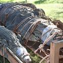 Post Thumbnail of Capturan un enorme cocodrilo de 600 kilos en Australia