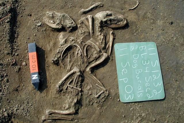 Un entierro ritual de dos perros en un sitio en Illinois cerca de St. Louis sugiere una relación especial entre humanos y perros hace entre 660 y 1350 años.Crédito: Illinois State Archaeological Survey.